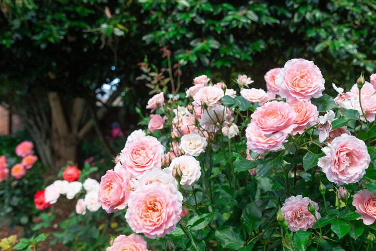 クライストチャーチ ローズチャペル ガーデン
